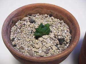 ハオルチア 丸葉宝草