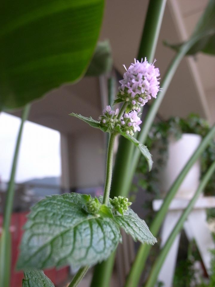 グレープフルーツミントの花
