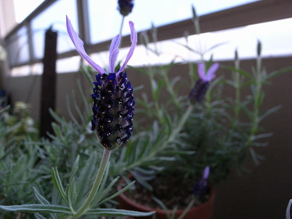 フレンチラベンダーの花