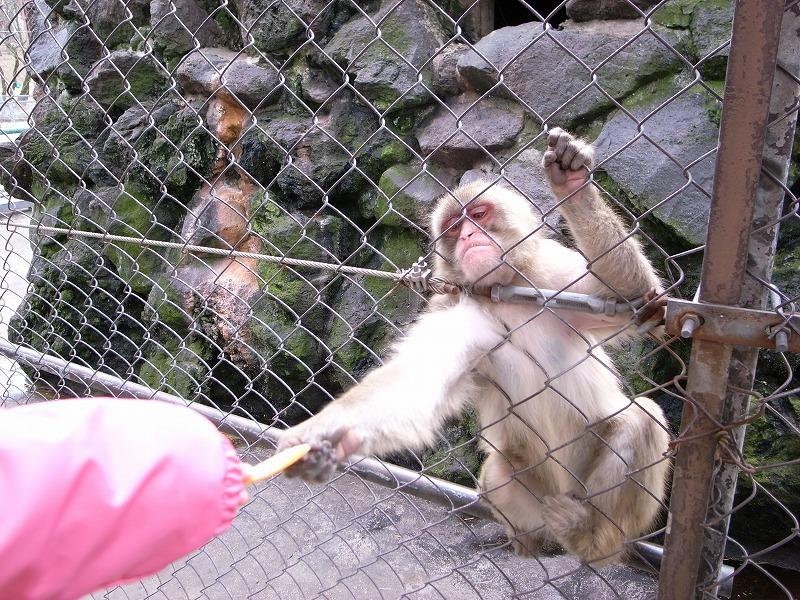 猿にエサやり