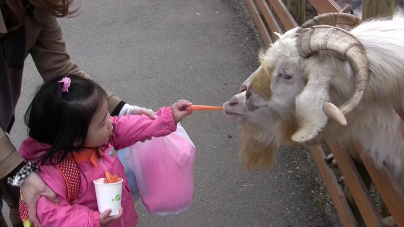 ヤギにエサやり